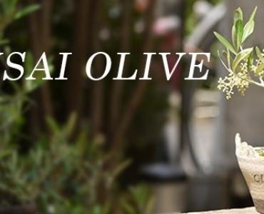 「オリーブで作る盆栽入門」、6月に兵庫で開催