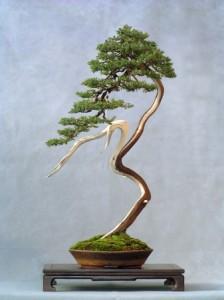 Mικρό αφιέρωμα στο Μπονσάι(in greek) Wlodzimierz_Pietraszko_bonsai-337x450-224x300
