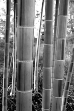 00013_Greecejapan_Bamboo.jpg