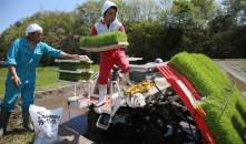 Επανεκκίνηση των εξαγωγών ρυζιού από τη Φουκουσίμα