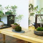 Ιαπωνία: Έκθεση και workshop με μπονσάι ελιές !