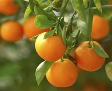 ヒオス島のマンダリン、EUの地理的表示保護製品に認定