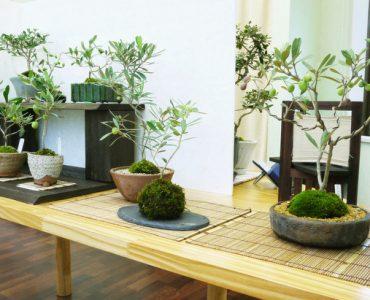 olive-bonsai1.jpg