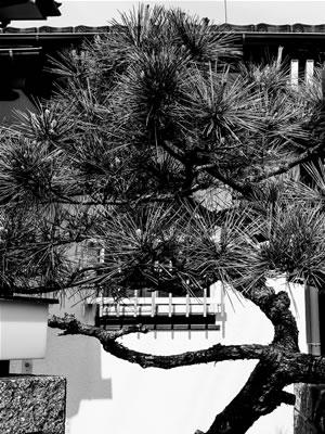Greecejapan_Pine