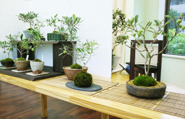olive-bonsai1