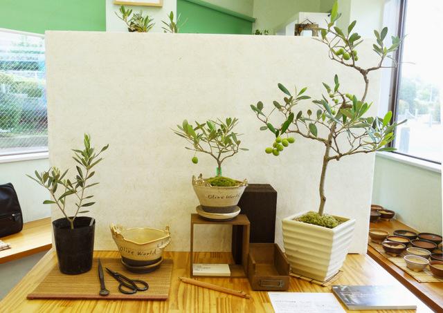 olive-bonsai2