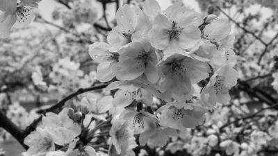 Greecejapan-small-white-pink-flower.jpg
