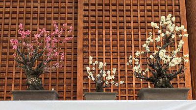 bonsai-ume-yushima-tenjin-1.jpg