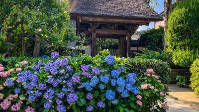 kamakura-hydrangea-greecejapan-com.jpg
