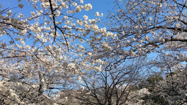 sakura-park-greecejapancom.jpg
